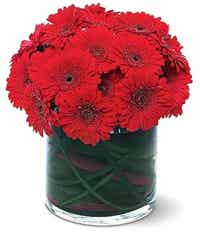 Red gerbera daisies in a round vase