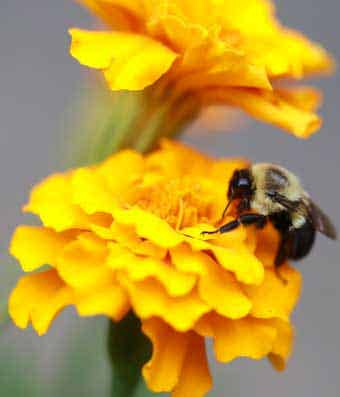 Bees help pollinate flowers