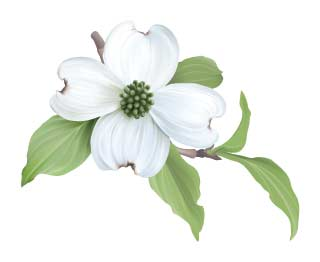 graphic regarding Legend of the Dogwood Tree Printable referred to as What is the North Carolina Country Flower?