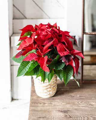 Poinsettia plant is the most popular Christmas plant