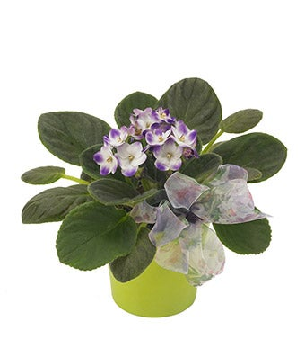 Plants - Vibrant Violets - Regular