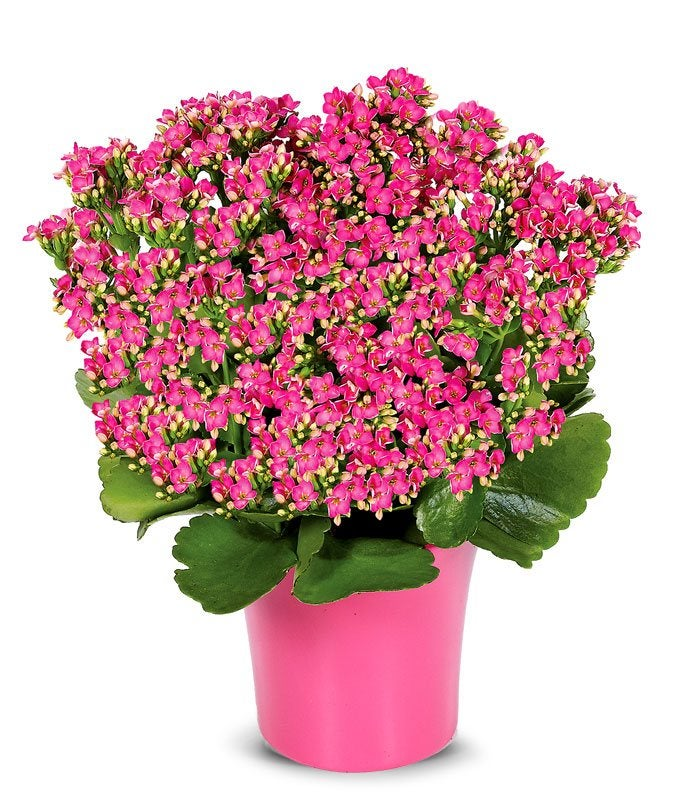 Pink kalanchoe plant at from you flowers pink kalanchoe plant mightylinksfo