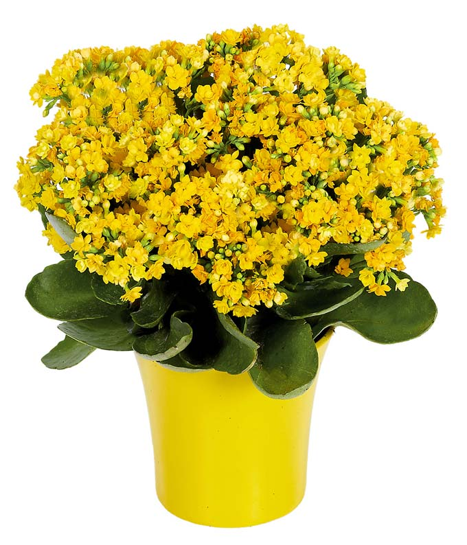 Yellow flowers yellow flower bouquets fromyouflowers yellow kalanchoe plant mightylinksfo