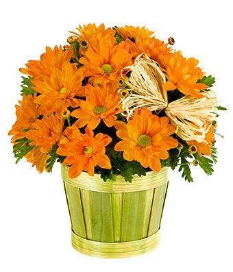 Orange Mum Plant