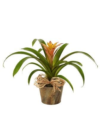 Woodland Bromeliad Plant