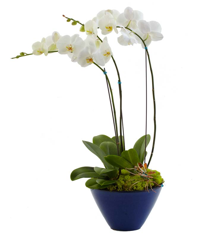 Two white orchid plants in one container