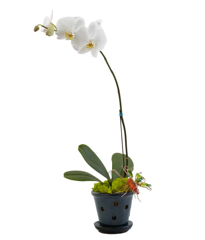 Single white orchid in a cute blue planter