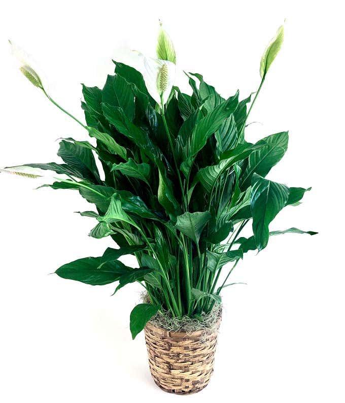 Green plant delivered in white basket