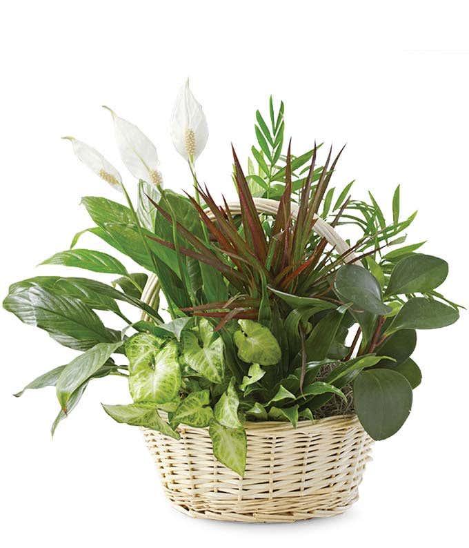 classic dish garden - Dish Garden Plants