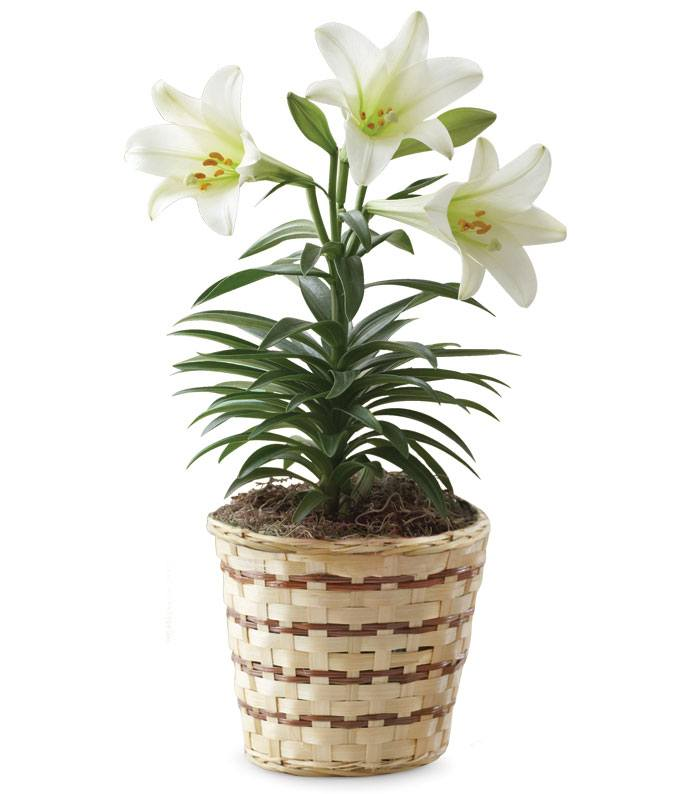 Blooming Easter Lily