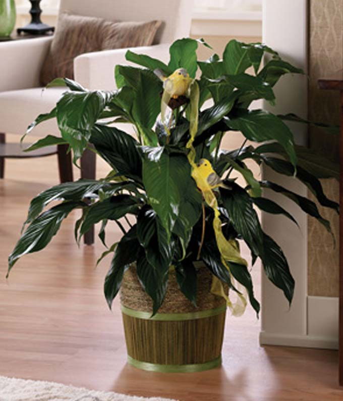 Sympathy plant with greens in basket