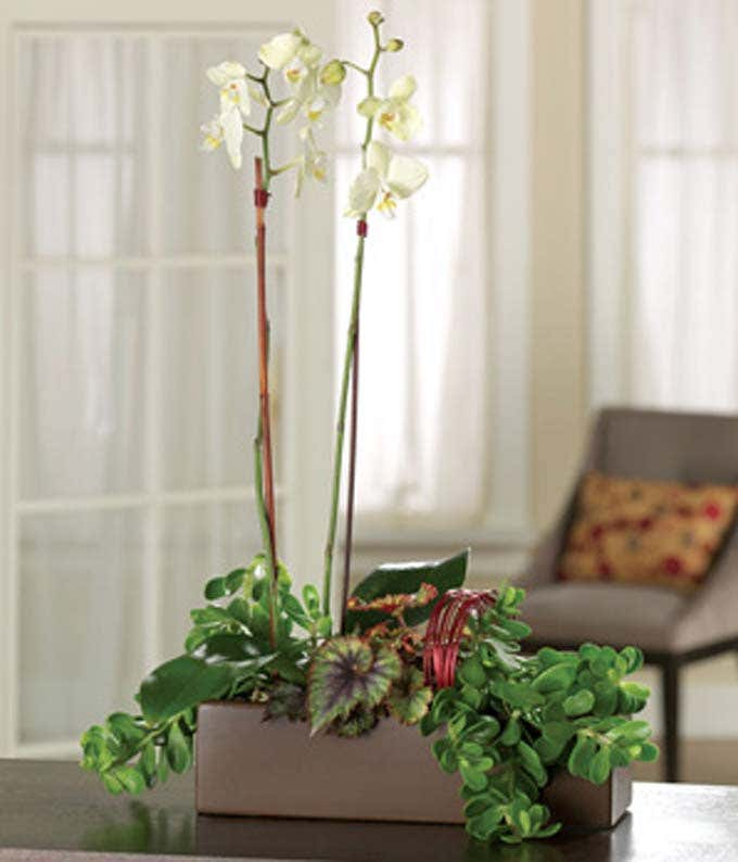 White phalaenopsis orchid plant for delivery