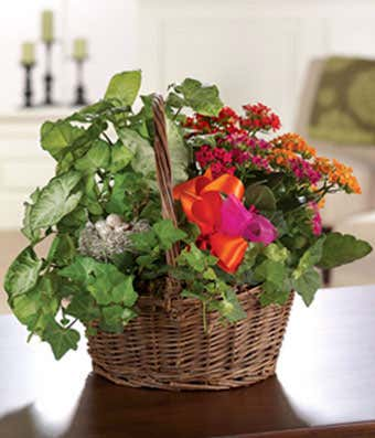 Kalanchoe plant with ivy for delivery in a wicker basket