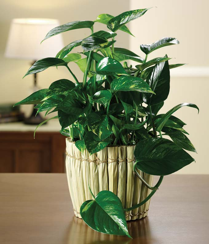 Philodendron Garden At From You Flowers