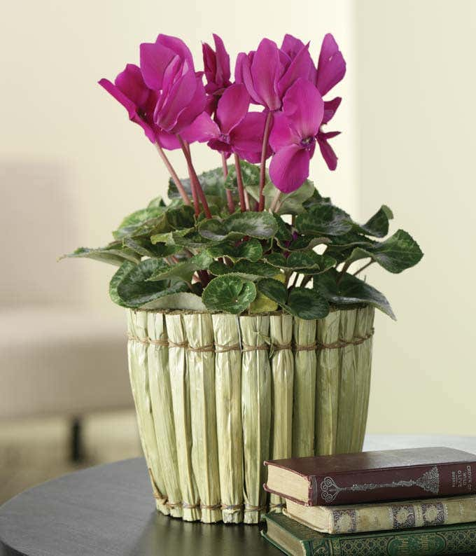Purple Cyclamen Plant