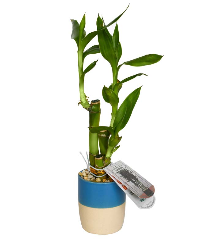 Faithful Bamboo Plant