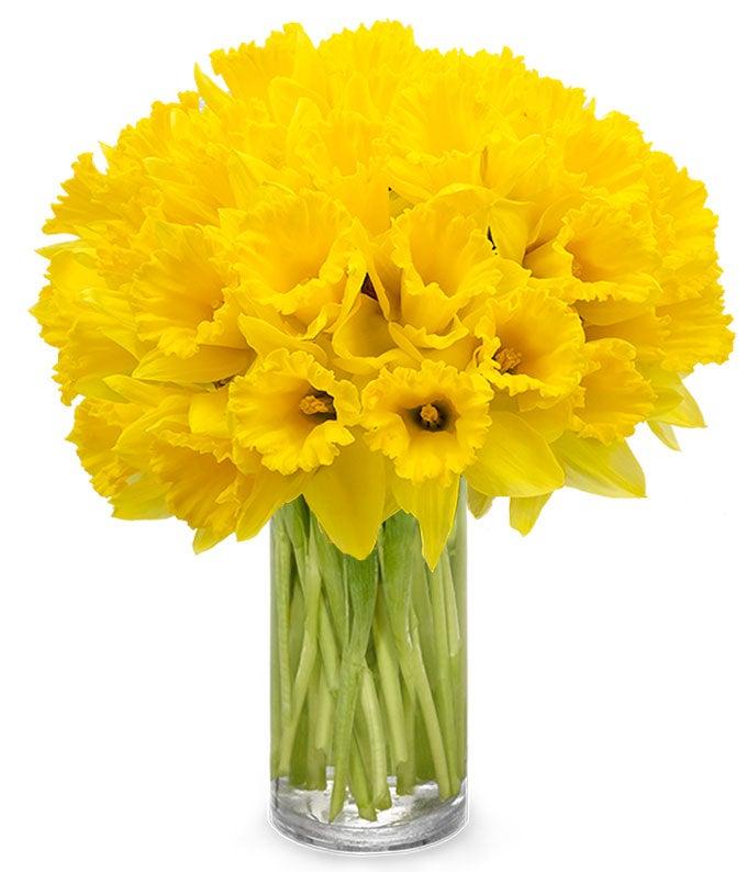 Spring Daffodils - 40 Stems