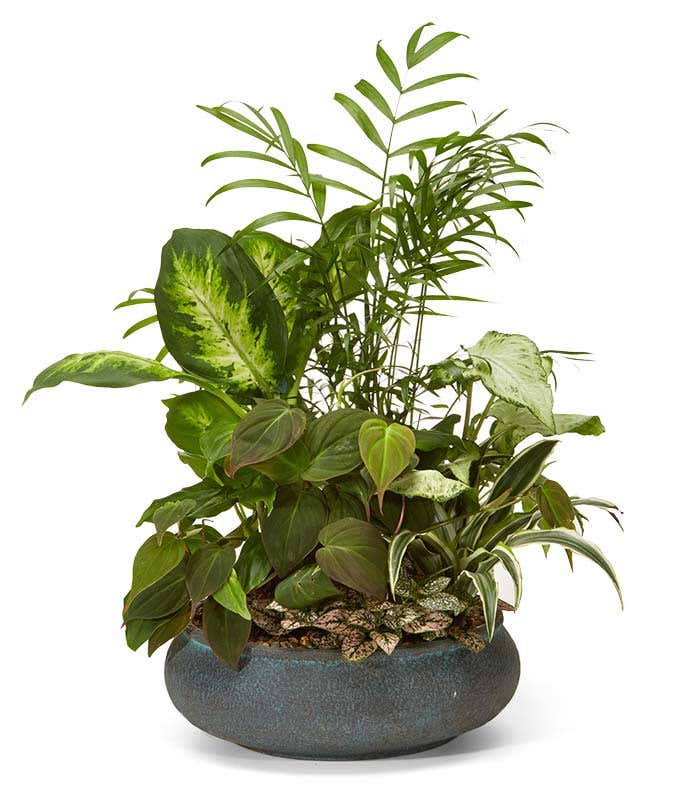 premium dish garden - Dish Garden Plants