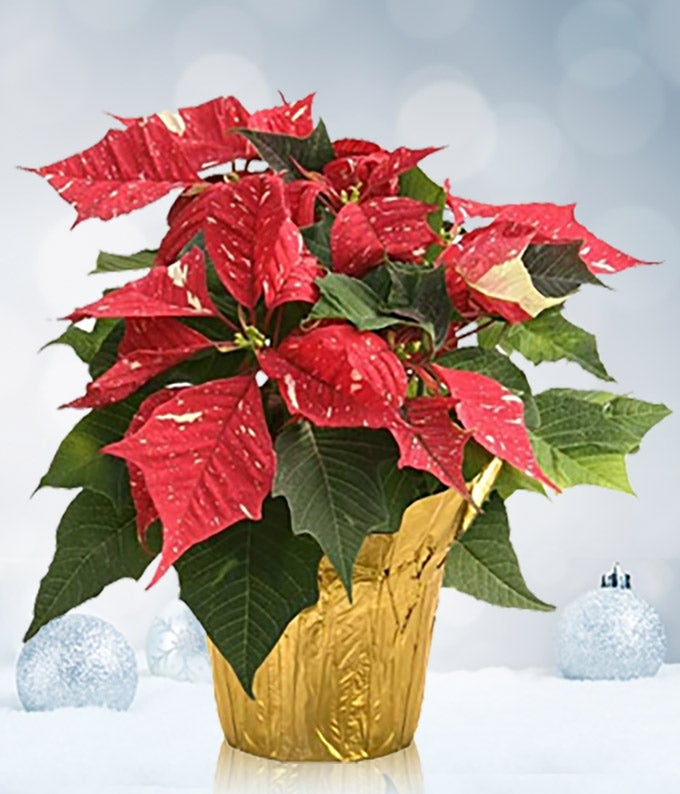 red and white christmas poinsettia at from you flowers