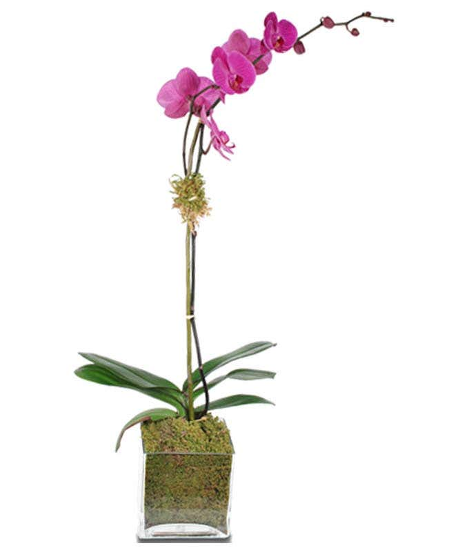 Purple orchid in square vase
