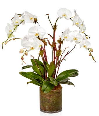 Orchid Brilliance