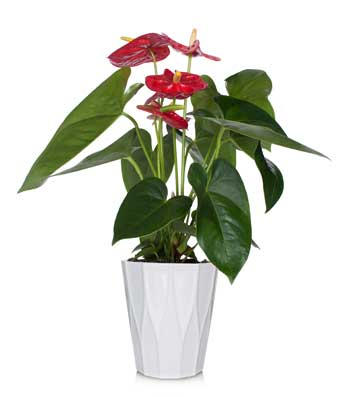 Red Anthurium potted plant