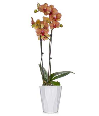 Yellow & Red Stripe Orchid