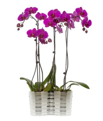 Four purple orchids planted in one pot