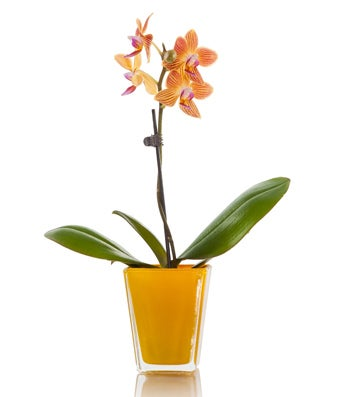 Small orange orchid plant