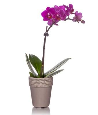 Vibrant Mini Orchid