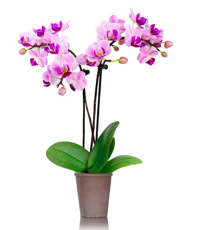 2.5 inch pot with petite purple orchid plant