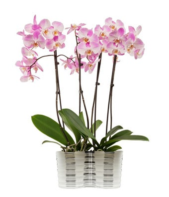 Three tall pink orchids in a single pot