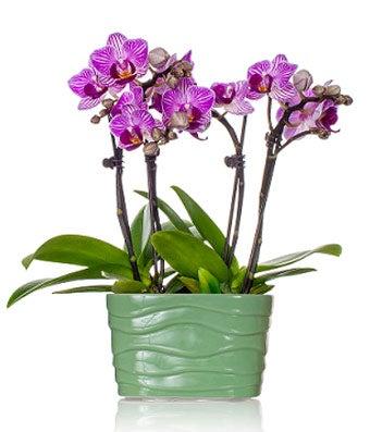 Purple Mini Orchid Plant