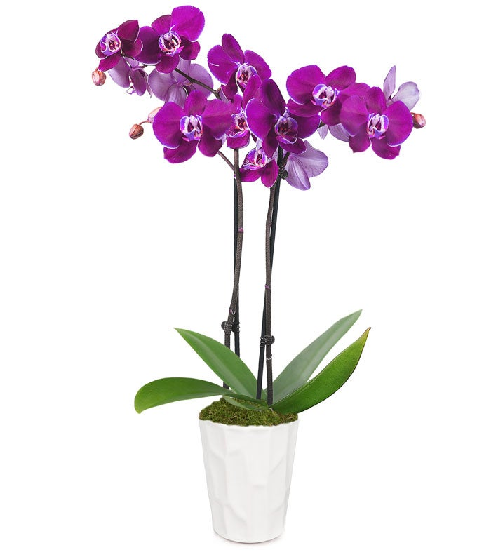 Posh Purple Orchid Plant