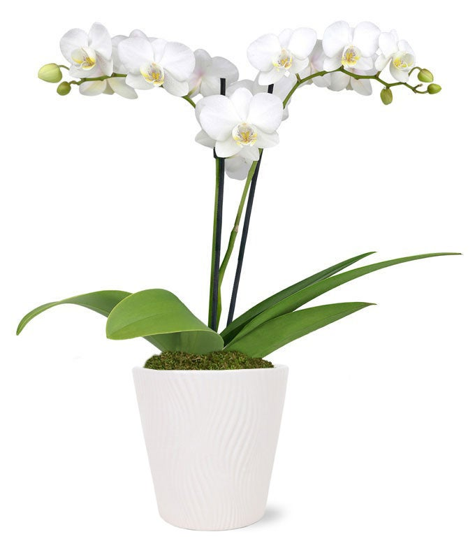 Tall double white orchid plant