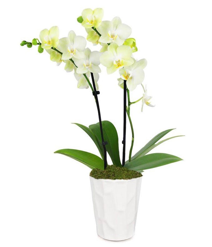 Lustrous Yellow Orchid Plant