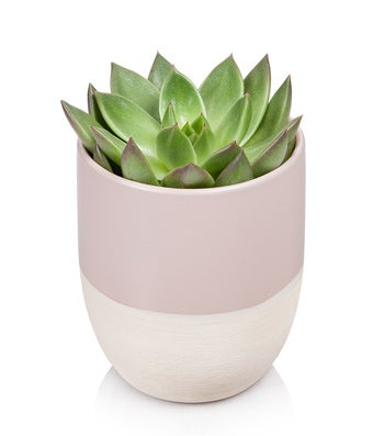 Glowing Green Succulent Plant