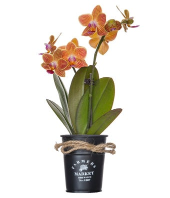Bi-color orange orchids in farmer's market container