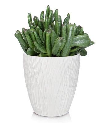 Crassula Hobbits Foot Succulent