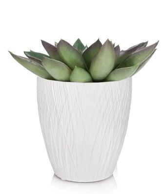 Echeveria Mexicana Succulent