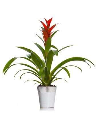 Bodacious Bromeliad Plant