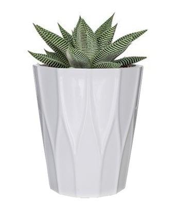 Everlasting Succulent Plant