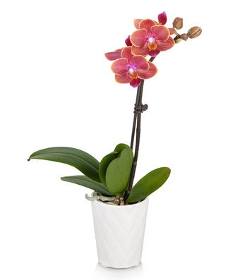 Gentle Breeze Mini Orchid