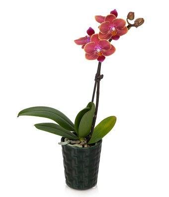 Dark Forest Mini Orchid