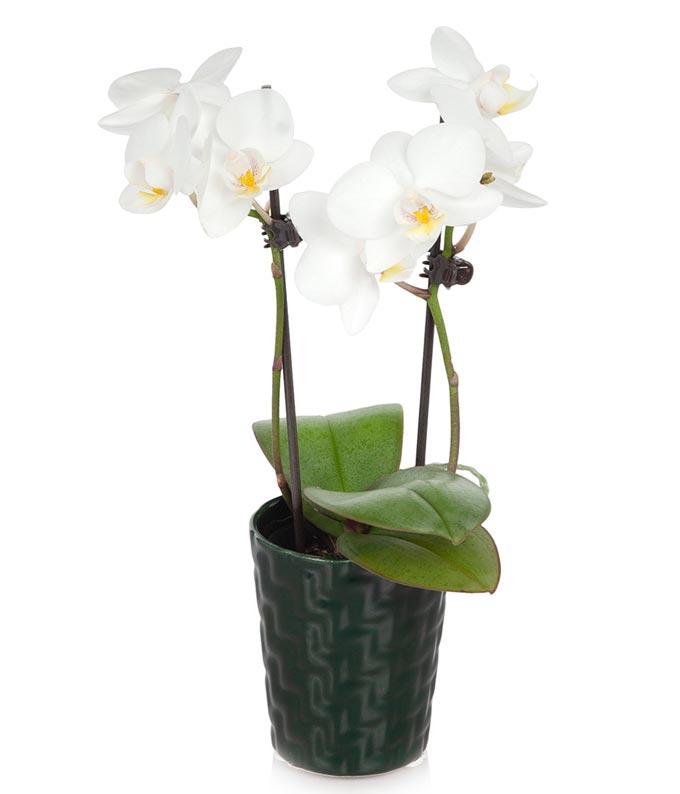 Regal White Mini Orchid
