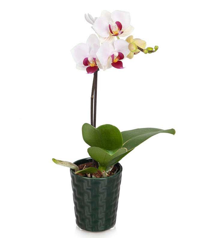 Pink Dream Mini Orchid