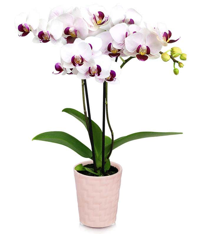Pink Princess Mini Orchid