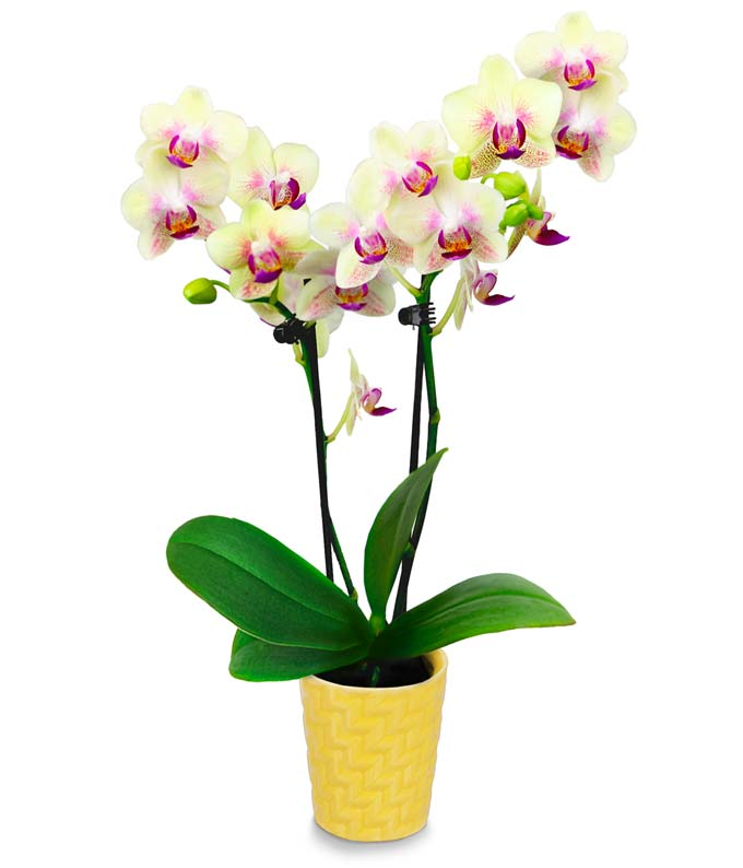 Sunshine Glow Mini Orchid