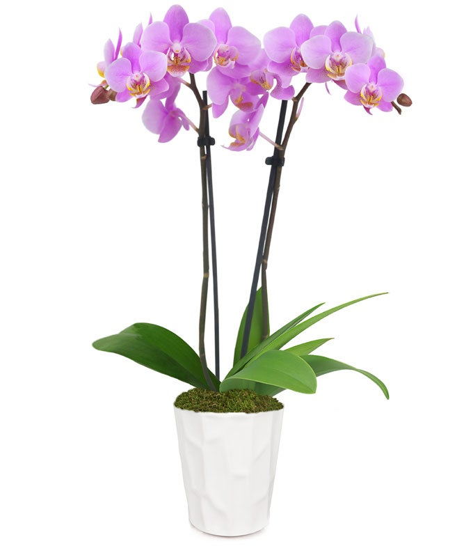 Perfect Pink and White Orchid