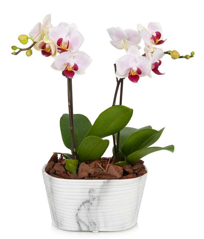 Plush pink orchid